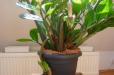 «Դոլարի ծառ». այս բույսը ձեր տունը կլցնի փողով ու հարստությամբ